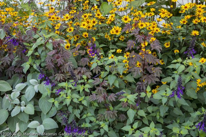 Plectranthus argentatus, Salvia 'Amistad', Hibiscus acetosella 'Mahogany Splendor', Heliopsis helianthoides var. scabra 'Summer Nights'