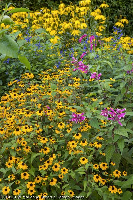 Rudbeckia triloba, Salvia involucrata, Salvia guaranitica 'Black and Blue', Rudbeckia laciniata 'Herbstsonne'