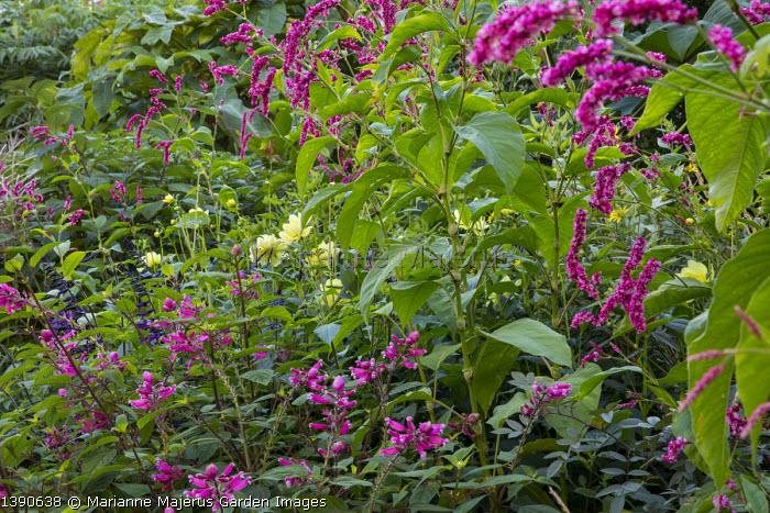 Persicaria orientalis, Salvia involucrata