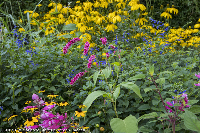 Persicaria orientalis, Rudbeckia laciniata 'Herbstsonne', Salvia guaranitica 'Black and Blue'