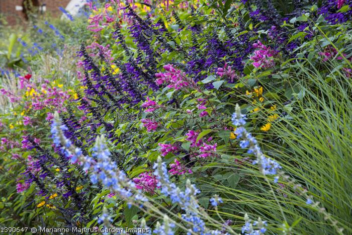 Salvia involucrata, Salvia 'Amistad', Salvia uliginosa