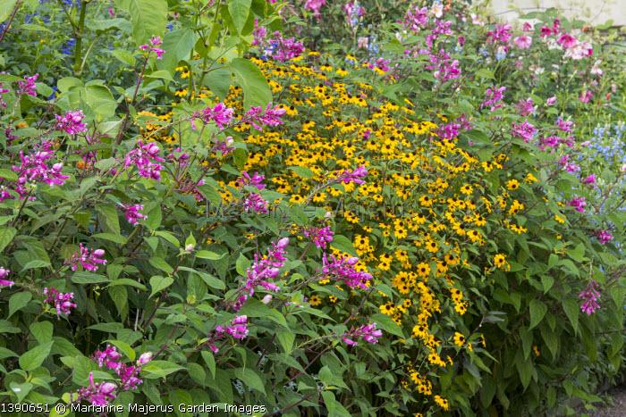 Rudbeckia triloba, Salvia involucrata