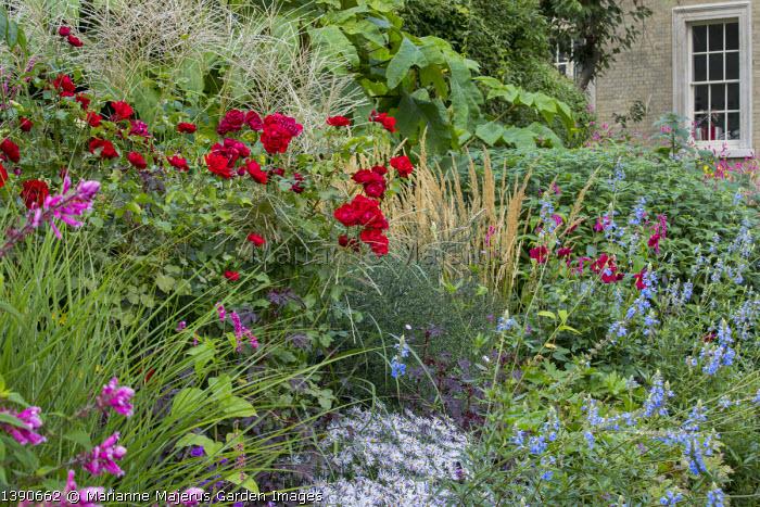 Salvia uliginosa, Salvia involucrata, Rosa 'Florence Mary Morse', Calamagrostis x acutiflora 'Karl Foerster', Aster pyrenaeus 'Lutetia'