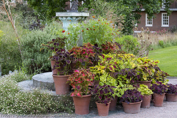 Collection of coleus in terracotta pots on steps, Solenostemon 'Wizard Pineapple', Festival Dance', 'Chocolate Mint', 'Kong Rose' and 'Black Dragon', Erigeron karvinskianus