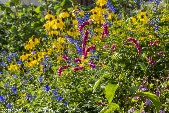 Persicaria orientalis, Salvia guaranitica 'Black and Blue', Rudbeckia laciniata 'Herbstsonne'