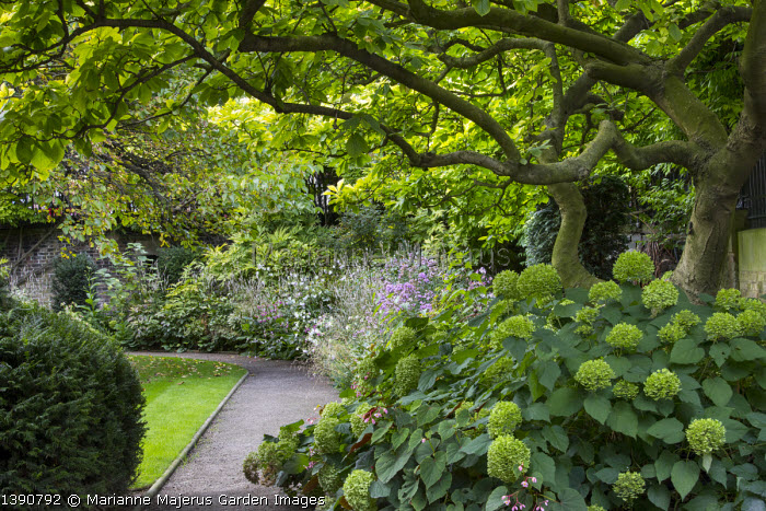 Hydrangea arborescens 'Annabelle' under magnolia, Persicaria amplexicaulis 'Alba', phlox, Begonia grandis subsp. evansiana
