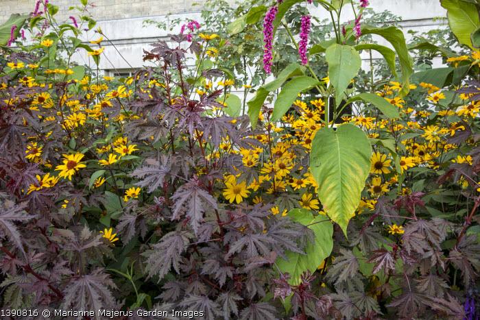 Hibiscus acetosella 'Mahogany Splendor', Persicaria orientalis, Heliopsis helianthoides var. scabra 'Summer Nights'