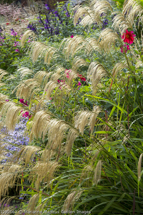 Miscanthus nepalensis, Salvia 'Amistad', Dahlia coccinea (Mary Keen form)