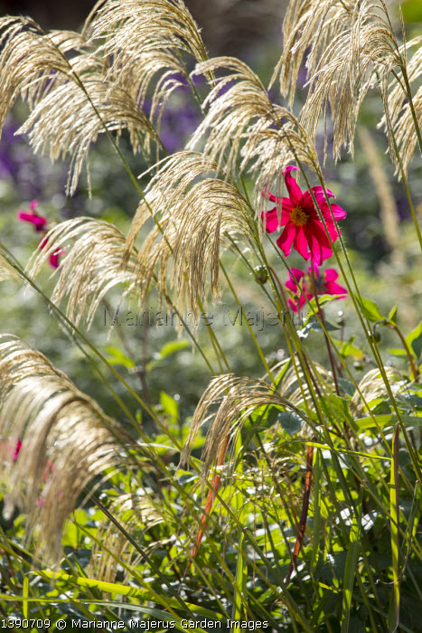 Miscanthus nepalensis, Dahlia coccinea (Mary Keen form)