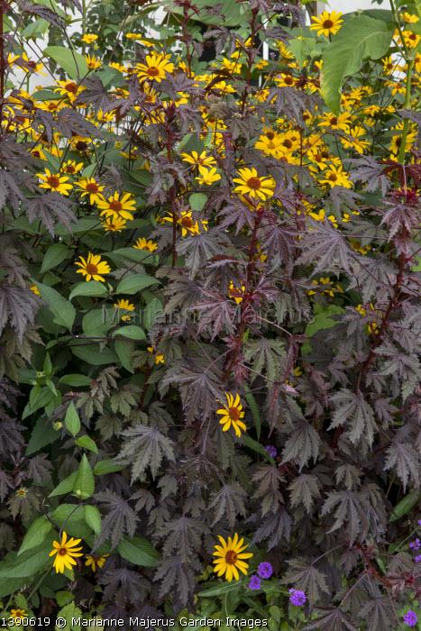 Hibiscus acetosella 'Mahogany Splendor', Heliopsis helianthoides var. scabra 'Summer Nights'
