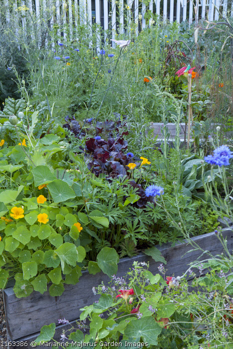 Nasturtiums, lettuce, geraniums, Foeniculum vulgare and cornflowers in wooden raised beds