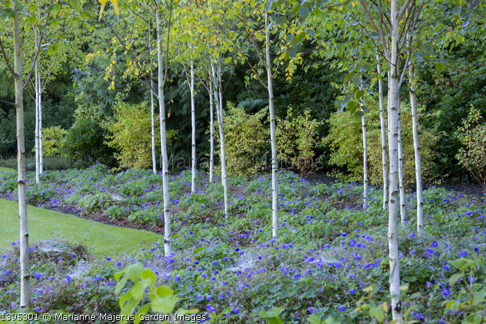 Copse of Betula utilis var. jacquemontii underplanted with carpet of geraniums