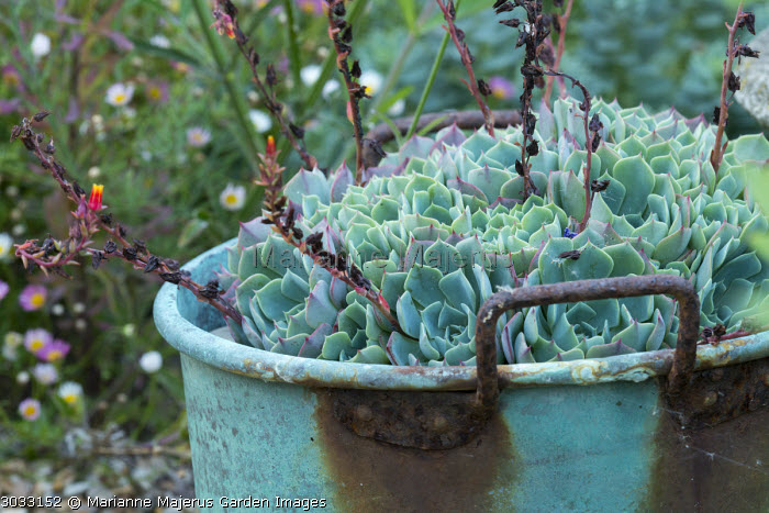 Echeveria in rusty pot