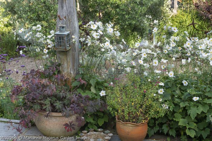 Geranium pratense 'Black Beauty' and salvia in pots, Anemone x hybrida 'Honorine Jobert'