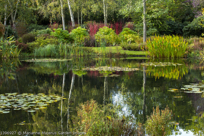 View across water lily pond, Cornus alba 'Sibirica', Betula pendula