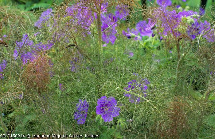 Foeniculum vulgare 'Purpureum', geranium