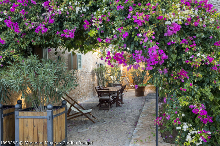 Table and chairs on mediterranean terrace under bougainvillea and Plumbago auriculata, syn. Plumbago capensis