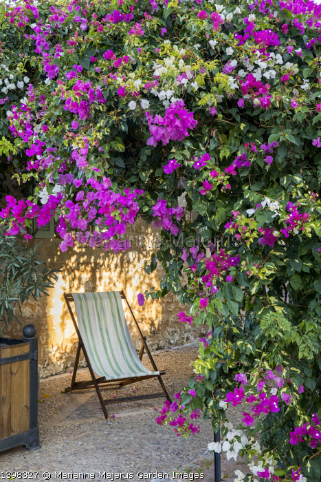 Striped deckchair under bougainvillea and Plumbago auriculata, syn. Plumbago capensis