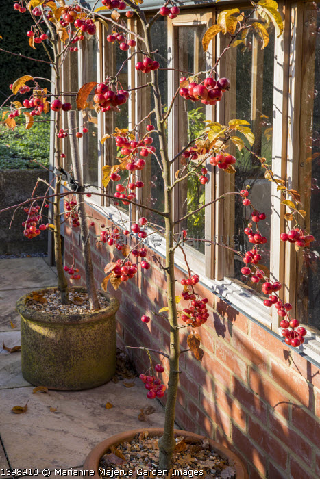 Malus 'Evereste' in terracotta pots by greenhouse