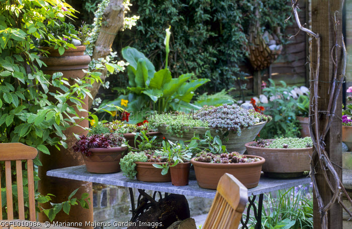 Sempervivums and sedums in terracotta containers on table, chairs