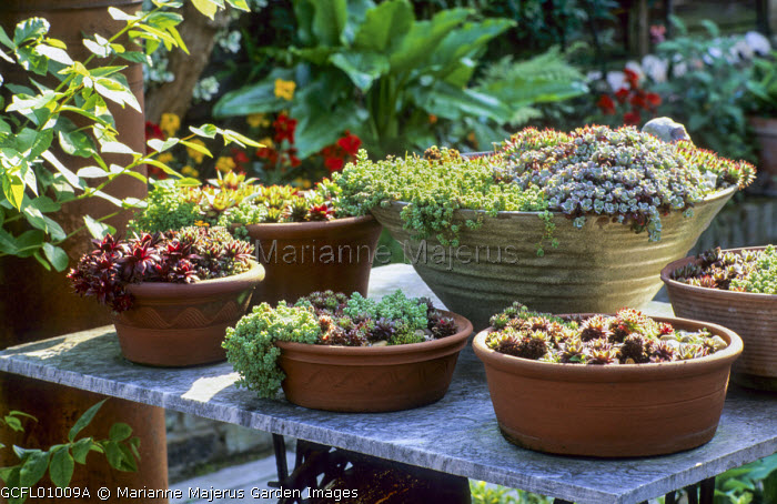 Sempervivums and sedums in terracotta containers on table
