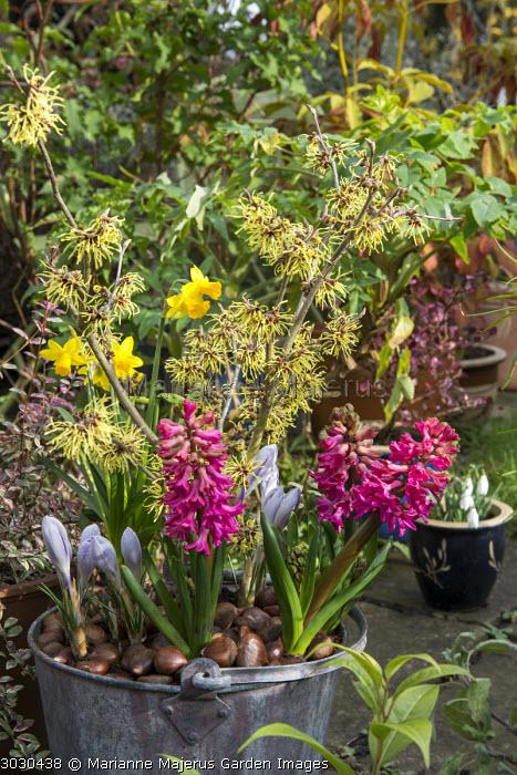 Hamamelis x intermedia 'Pallida', crocus and Hyacinthus orientalis in bucket, sweet chestnut mulch
