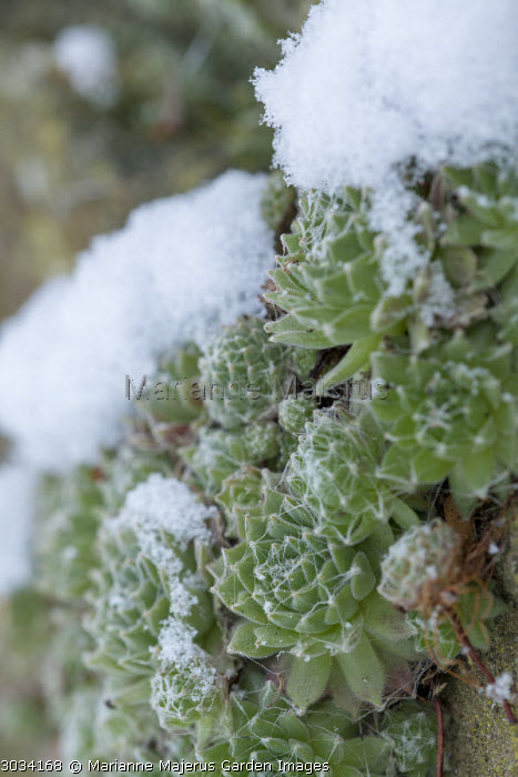 Sempervivums in wall in the snow