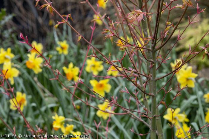 New foliage of Acer palmatum, daffodils