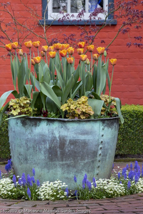 Tulipa 'Brown Sugar' and heuchera in large copper container on patio by house, muscari, acer