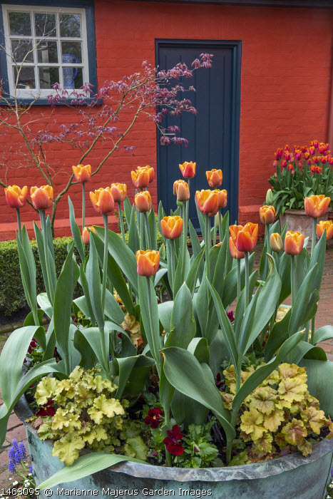 Tulipa 'Brown Sugar' and heuchera in large copper container on patio by house, acer