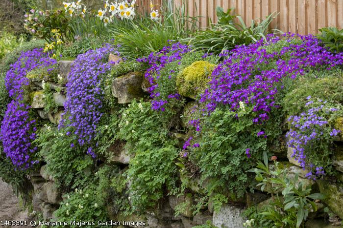 Aubrieta growing on dry-stone wall, Corydalis ochroleuca, daffodils