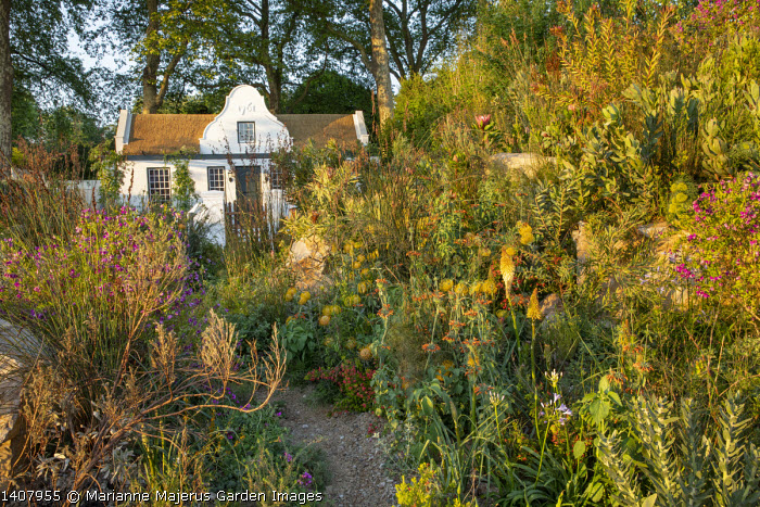 Path through South African garden with Fynbos planting, Polygala myrtifolia, Leonotis ocymifolia, Kniphofia uvaria, Thamnochortus insignis, leucadendron, Leucospermum 'Soleil'