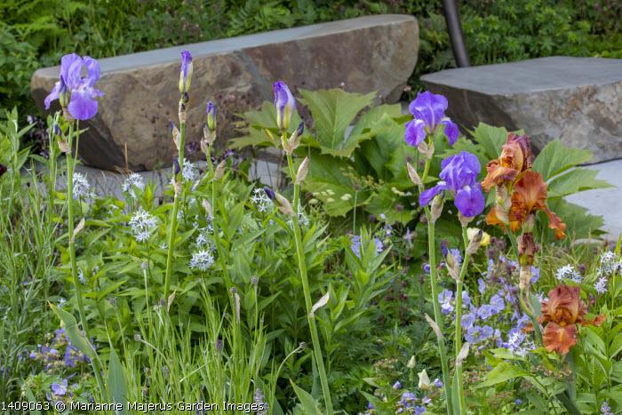 Amsonia illustris, Iris 'Carnival Time', Rodgersia 'Irish Bronze', Geranium pratense 'Mrs Kendall Clark'