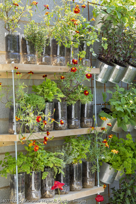 African marigolds, herbs and strawberries in recycled containers on shelves, plastic bottles, metal tin cans, parsley, mint, thyme