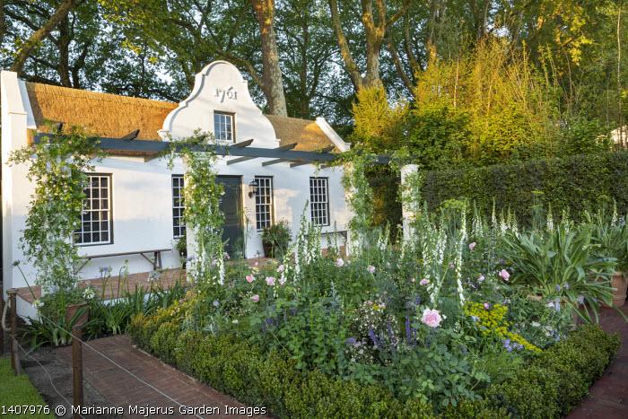 Cottage garden by house, Digitalis purpurea f. albiflora, Rosa 'St Ethelburga', Agapanthus praecox, Rosa 'Paul's Himalayan Musk' climbing on pergola