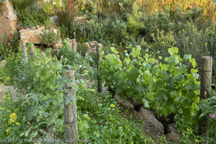 Vitis vinifera trained on wires, Sinapis arvensis, vineyard