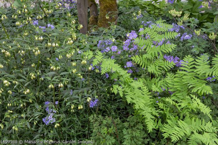 Disporum longistylum 'Green Giant', Osmunda regalis, Geranium pratense 'Mrs Kendall Clark', Phlox divaricata subsp. laphamii 'Chattahoochee'