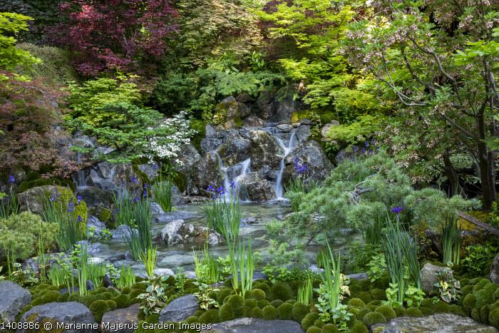 Shady Japanese garden, rocky waterfall, Iris 'Caesar's Brother', Acer palmatum, Pinus thunbergii, Houttuynia cordata, Enkianthus campanulatus, Leucobryum juniperoideum moss balls