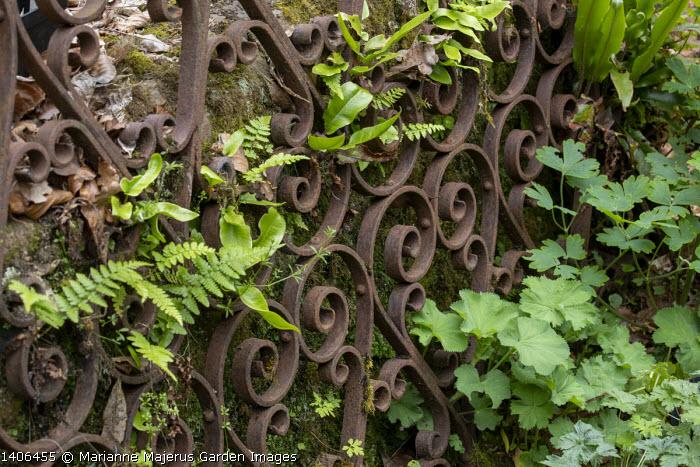 Rusty metal gate against wall, ferns in cracks, Asplenium scolopendrium