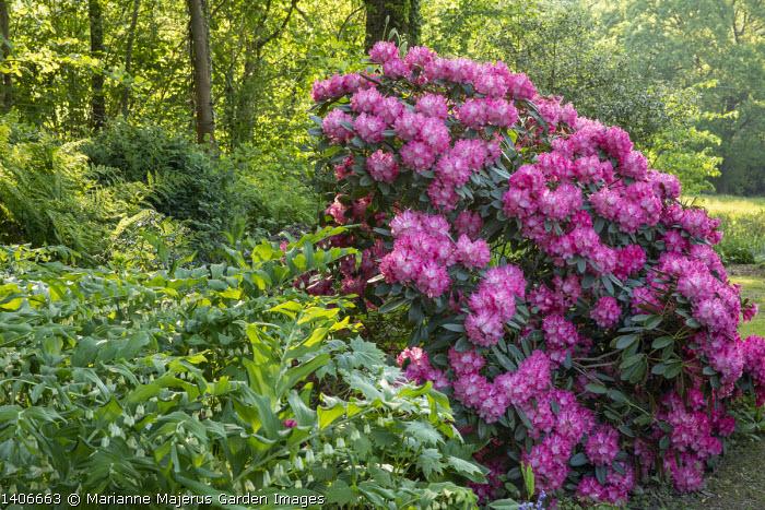 Polygonatum x hybridum, rhododendrons