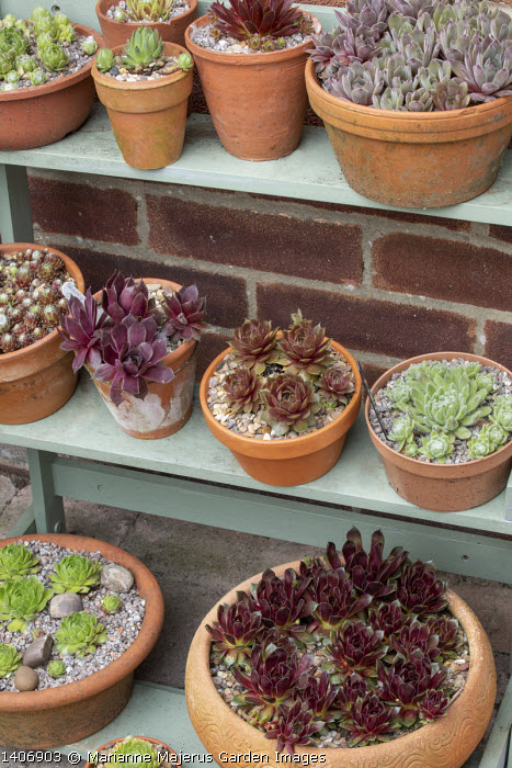 Collection of sempervivums in terracotta pots on wooden shelves