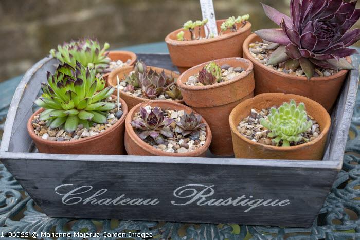Sempervivums in small terracotta pots in wooden tray