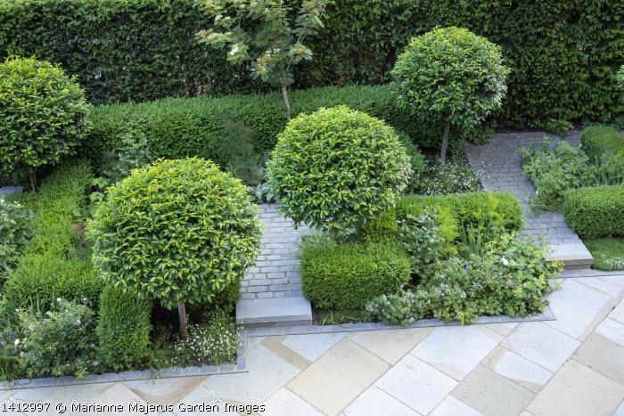 Prunus lusitanica 'Angustifolia' standard lollipop trees, low clipped box hedges, geraniums, York stone paving