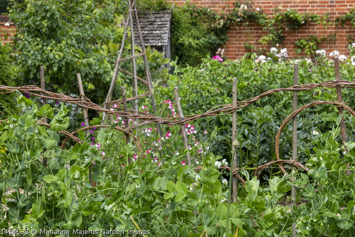 Pea 'Rondo' on woven willow plant support