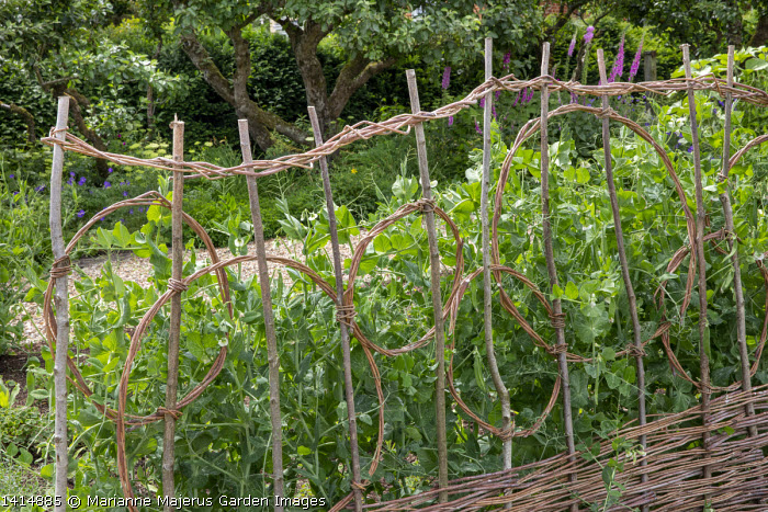 Woven willow plant support, Pea 'Rondo'