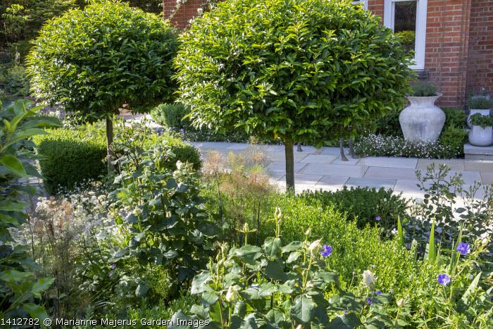 Prunus lusitanica 'Angustifolia' standard lollipop trees, low clipped box hedges, geraniums, York stone paving, roses