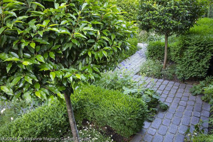 Granite sett path through border, low clipped box hedge, Prunus lusitanica 'Angustifolia' standard lollipop trees, Erigeron karvinskianus, Alchemilla mollis