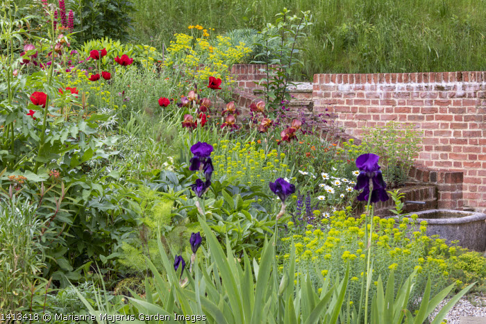 Terraced border, Papaver orientale (Goliath Group) 'Beauty of Livermere', Euphorbia oblongata, Iris 'Quechee', Cosmos bipinnatus 'Rubenza', Euphorbia seguieriana subsp. niciciana, brick wall