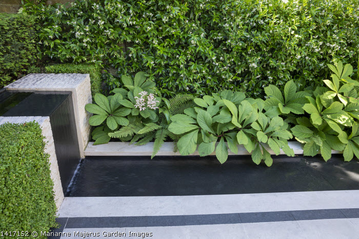 Rodgersia pinnata by formal rill and waterfall, Trachelospermum jasminoides climbing on wall