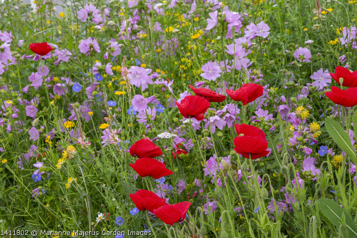 Wildflower meadow by roadside, Papaver rhoeas, mallow
